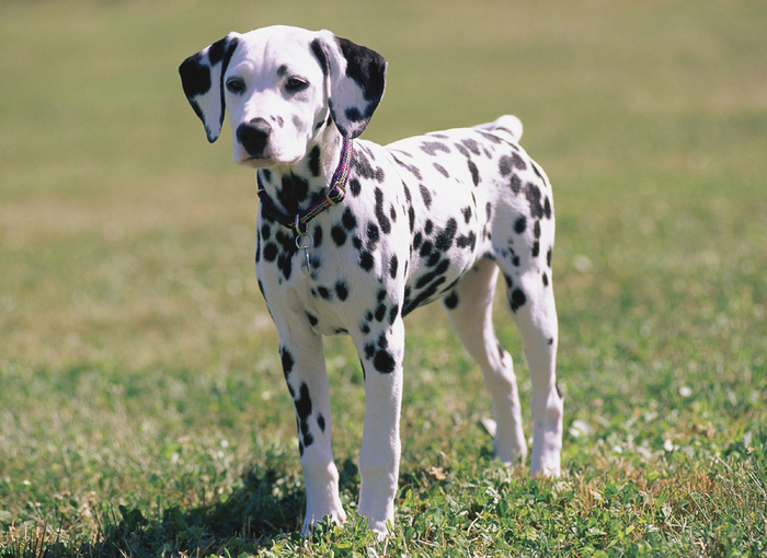 dalmatian-puppy (700x510, 460Kb)