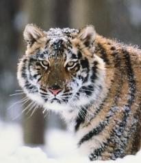 4085248_Avatar_tigr (206x237, 18Kb)