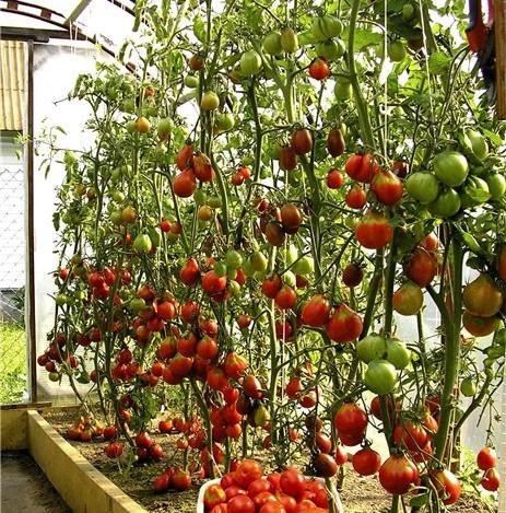 Прежде чем браться за выращивание помидоров в теплице, необходимо хорошо усвоить важное правило, не в коем...