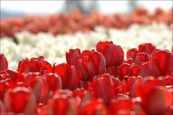 field-of-tulips-07 (700x464, 36Kb)