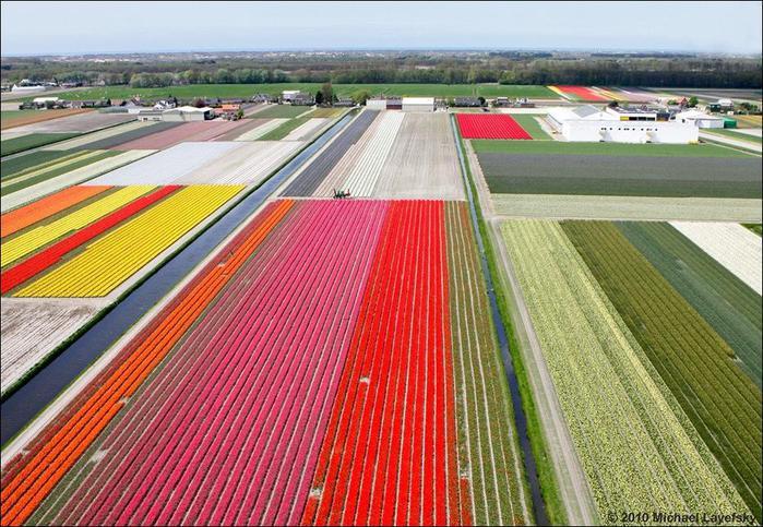 field-of-tulips-10 (700x483, 89Kb)