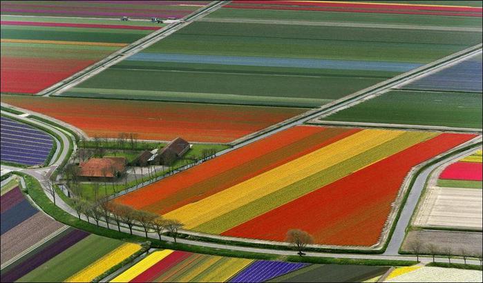 field-of-tulips-20 (700x410, 55Kb)
