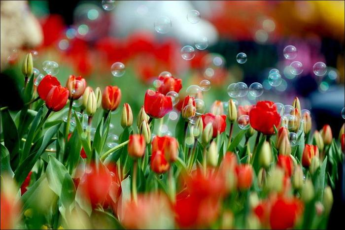 field-of-tulips-24 (700x467, 52Kb)