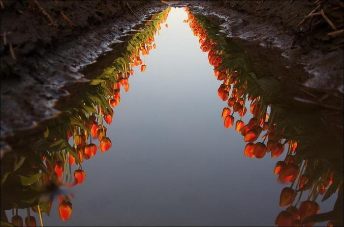 field-of-tulips-32 (700x463, 38Kb)