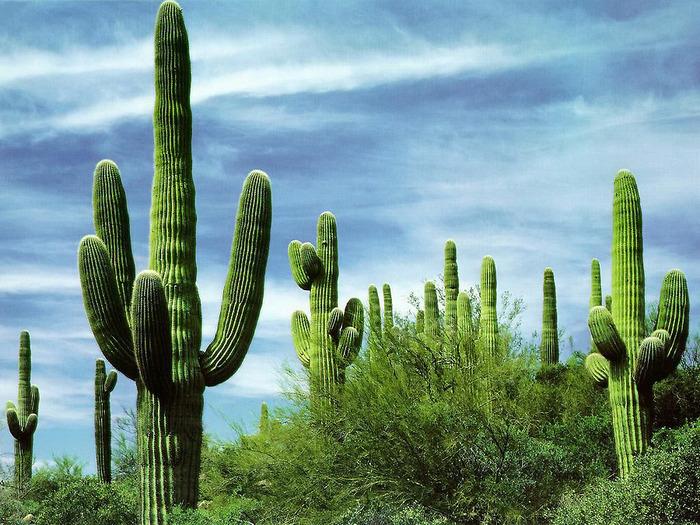 кактус Сагуаро фото
