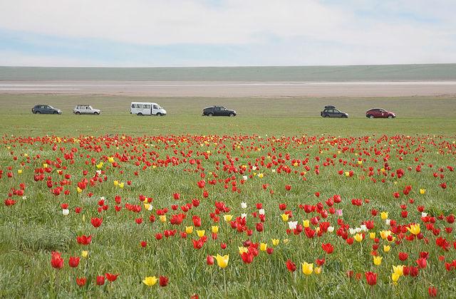 тюльпаны 1 (640x420, 96Kb)