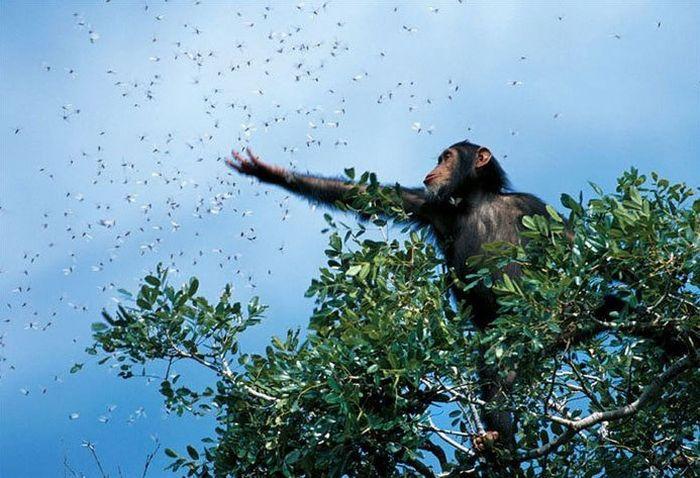 primates_04 (700x478, 75Kb)