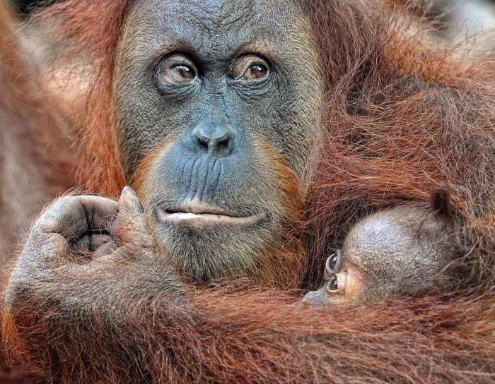 primates_12 (700x544, 117Kb)