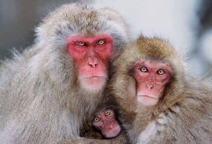 primates_71 (700x476, 68Kb)