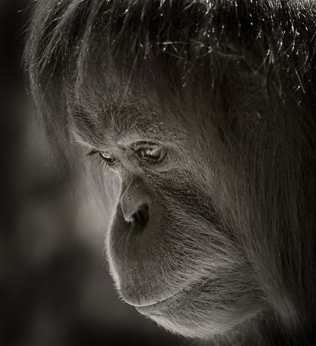 primates_108 (639x700, 66Kb)