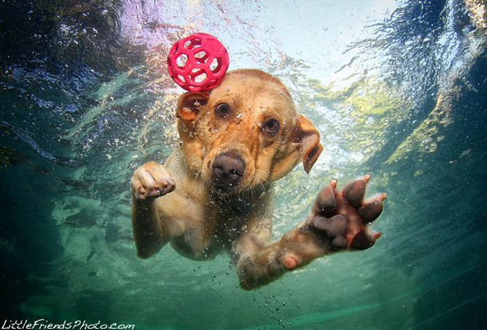 underwater-photos-of-dogs-seth-casteel-8 (700x475, 148Kb)