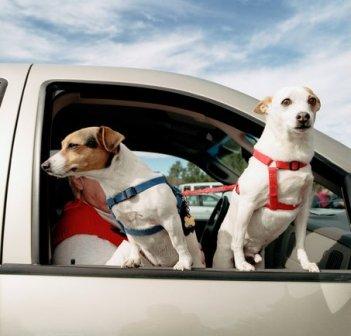 собаки в авто (351x336, 31Kb)