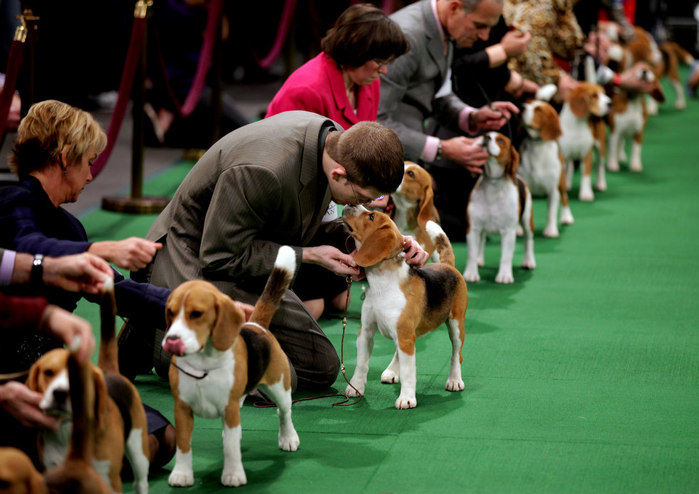 westminster_dog_show_03 (700x494, 91Kb)