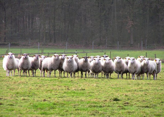 Nieuwsgierige_bleke_bossen_schapen120107 (640x456, 75Kb)