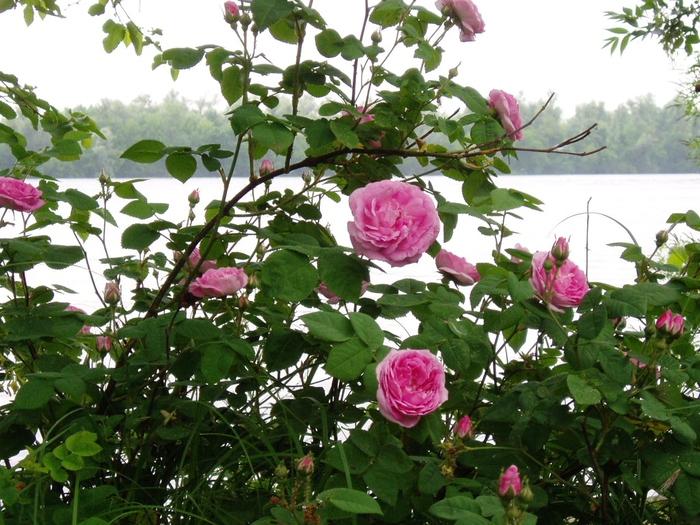 Июньская чайная роза (700x525, 253Kb)