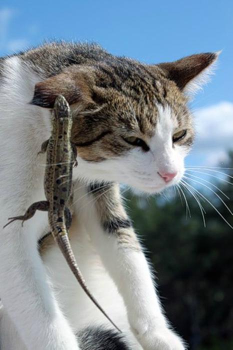 Фотографии котов 5 (466x700, 264Kb)