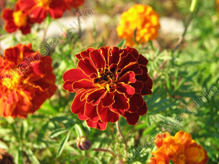 Осенние цветы обсуждение на liveinternet