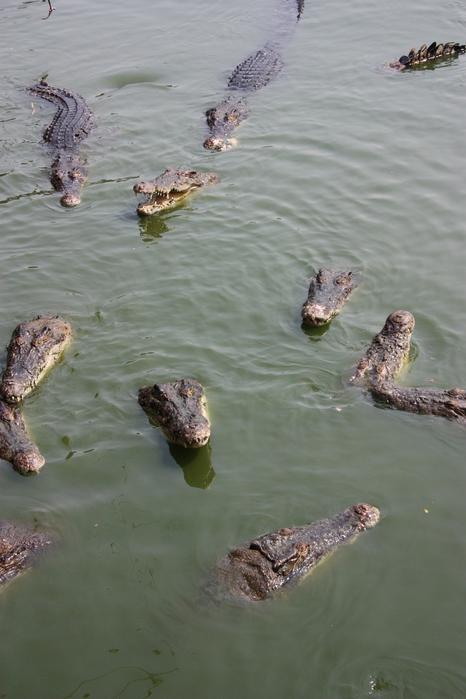 Thailand-Pattaya-Crocodile farm-2012-Изображение 224 (466x700, 162Kb)