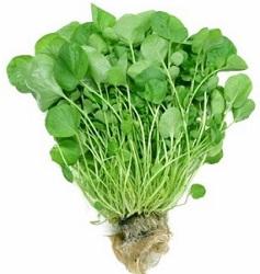 1281800920_lekarstvennoe-rastenie-kress-salat-posevnoj (237x250, 23Kb)