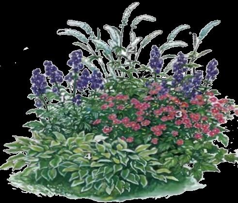 Схема цветника с аконитом