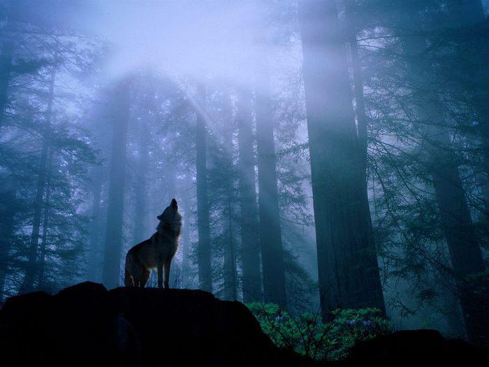 u878_9674_wolf (700x525, 48Kb)