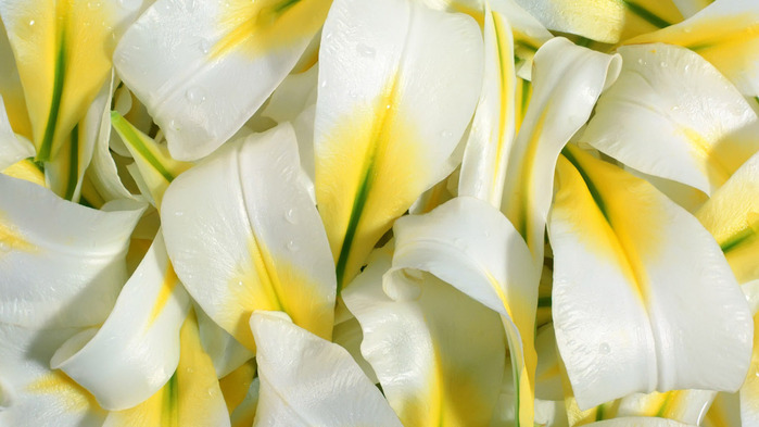 petals-lilies-wallpaper-1366x768 (700x393, 84Kb)