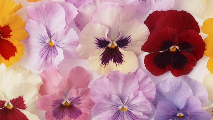 pansy-wallpaper-1366x768 (700x393, 92Kb)