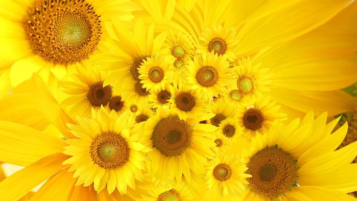sunflowers-wallpaper-1366x768 (700x393, 118Kb)