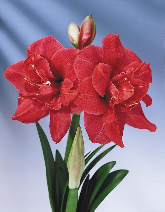 ...начале цветения 2 раза с перерывом в 10 дней, можно продолжать подкорм амариллиса через 1-2 недели...