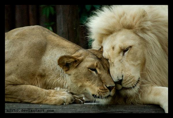 lion_love_by_morho-d4ppeux (600x408, 59Kb)