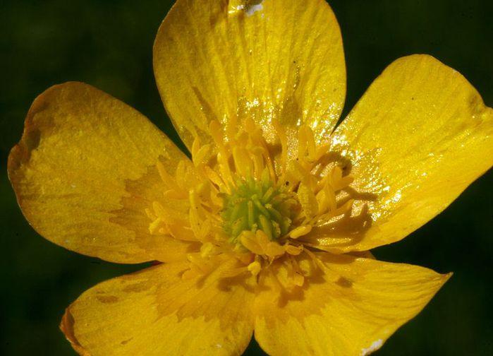 800px-Ranunculus_acris_ENBLA07 (700x504, 50Kb)