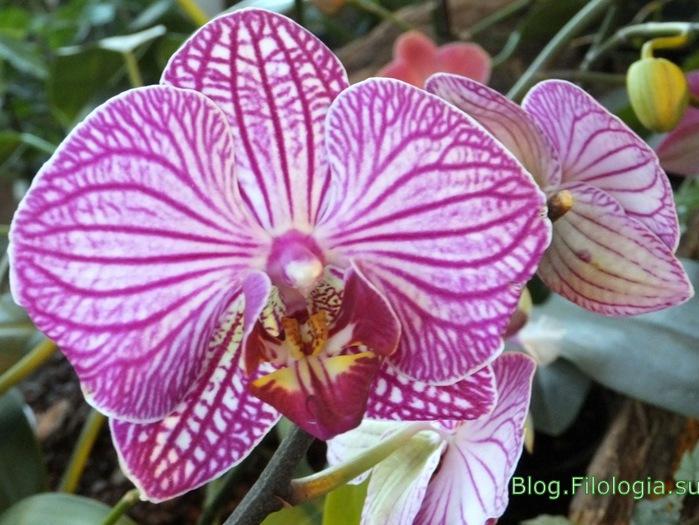 Ярко розовые орхидеи в Аптекарском огороде/3241858_orchid4 (700x525, 123Kb)