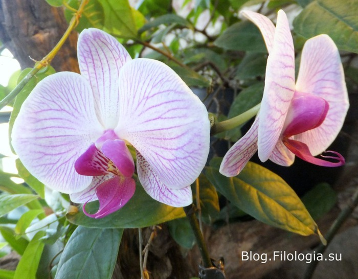 Нежно розовые орхидеи на выставке орхидей в Москве/3241858_orchi1 (700x546, 111Kb)