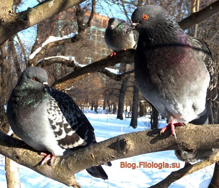 Зима. Птицы на ветках в Ботаническом саду в Москве. 30 января 2012 года/3241858_birds4neu (697x600, 175Kb)
