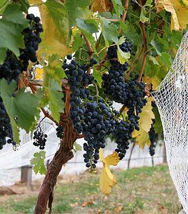 275px-Wine_grapes04 (275x312, 39Kb)