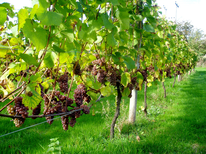 coddington wines (700x525, 694Kb)
