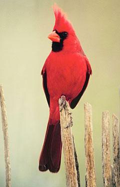2190600_Cardinals_fBoxV (240x375, 17Kb)