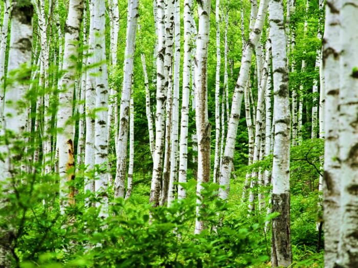 Spring Birch ForestWal tangledwing (700x525, 896Kb)