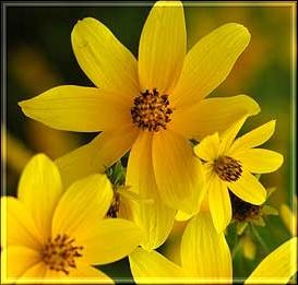 wildyellowflowers (273x261, 50Kb)