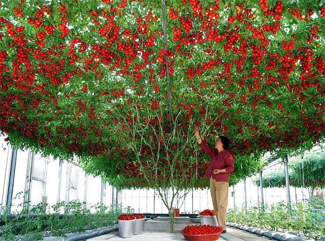 помидоровое дерево (640x474, 122Kb)