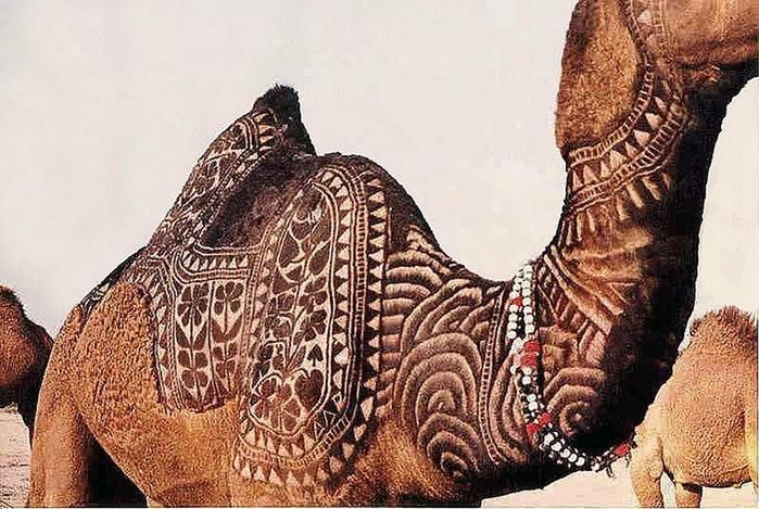 Фигурная стрижка верблюдов 6 (700x469, 136Kb)