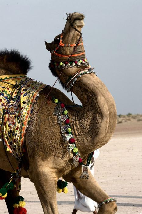 Фигурная стрижка верблюдов 9 (466x700, 346Kb)