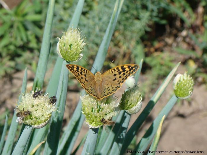 Бабочки4 (700x525, 232Kb)