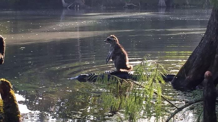 raccoon-riding-alligator-richard-jones-1 (700x393, 85Kb)