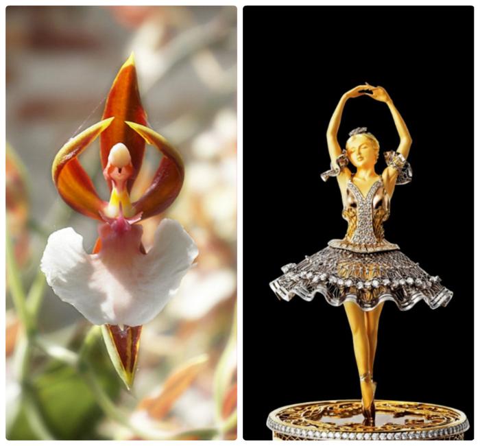 орхидея балерина фото 3 (700x650, 311Kb)