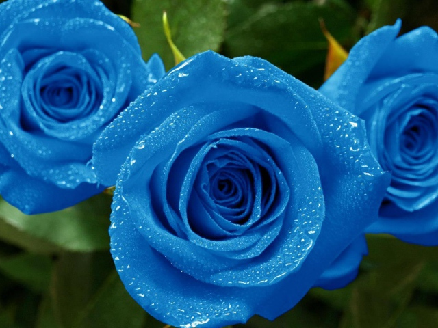 Nature___Flowers_Wet_blue_roses_in_the_garden_055889_29 (640x480, 135Kb)