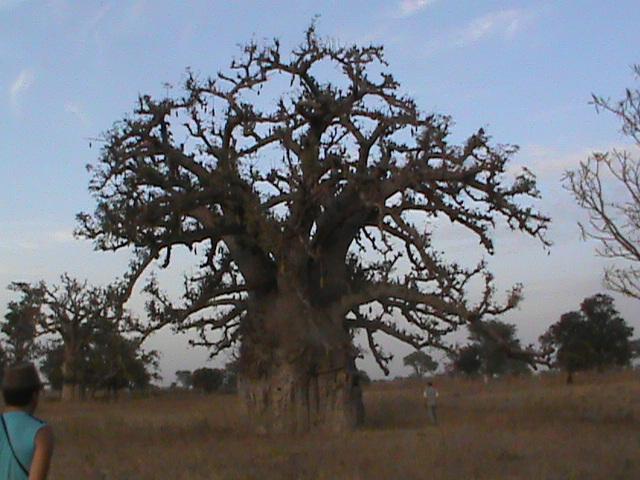 5652547_Baobab4 (640x480, 141Kb)