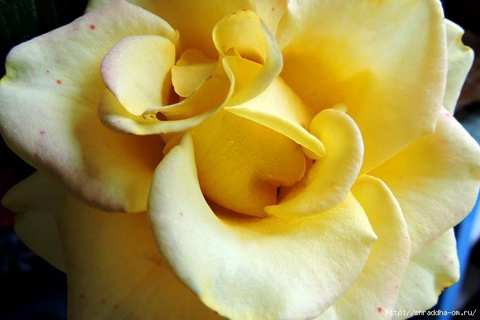 роза (1) (700x466, 213Kb)