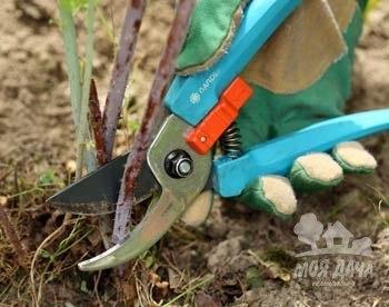 Когда обрезать ягодные кустарники. (350x276, 27Kb)