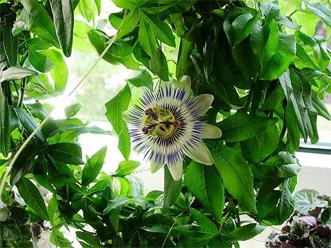 passiflora-1 (480x360, 71Kb)
